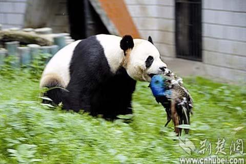 武汉动物园大熊猫捕杀蓝孔雀